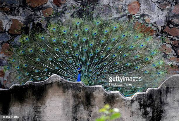 The Peacock dancing to enjoy in pleasant weather after the post morning rains at Delhi Zoo on April 4 2015 in New Delhi India Delhi experience a...