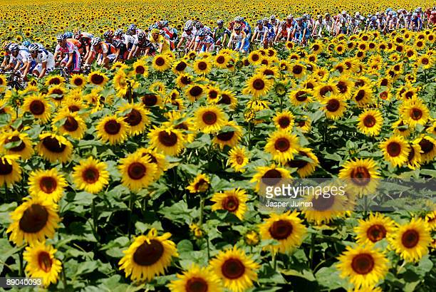 The peloton makes its way past fields of sunflowers during stage 11 of the 2009 Tour de France from Vatan to SaintFargeauPonthierry on July 15 2009...