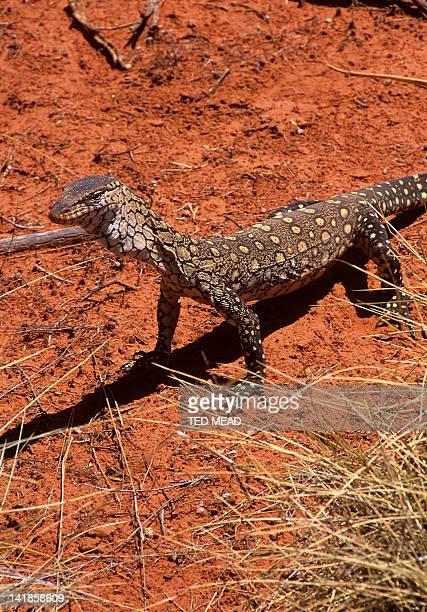 The Perentie ( Varanus giganteus ) is Australia's largest monitor that lives in the desert regions of Central Australia.