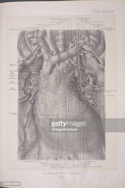 The pericardium is a doublewalled sac containing the heart and the roots of the great vessels 1903 From 'Surgical Anatomy The Treatise of the Human...