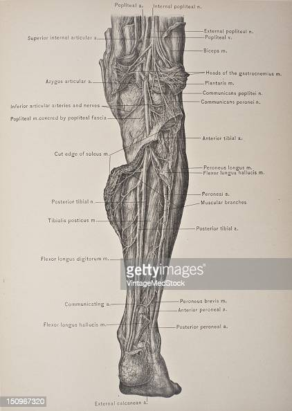 The peroneal artery is the largest branch of the posterior tibial and is often as large as the main trunk 1903 From 'Surgical Anatomy The Treatise of...