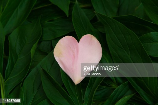 The petal of the heart on a leaf. : Stock Photo