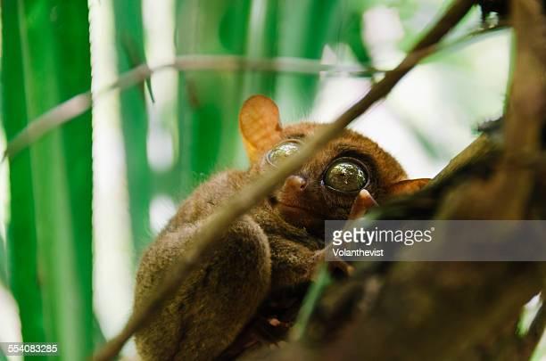 The Philippine tarsier in Corella, Bohol