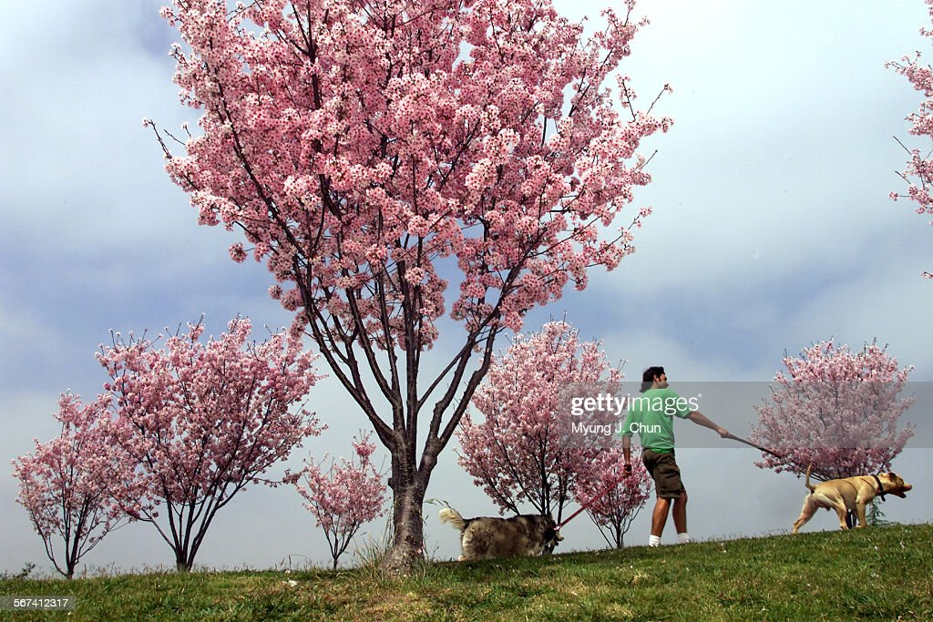 The Pink Cloud variety of the Japanese Cherry Blossom trees are in bloom at Lake Balboa providing a colorful backdrop for visitors to the recreation area. Over 2,000 of these trees line the entrance to the park and frame the lake. DIGITAL