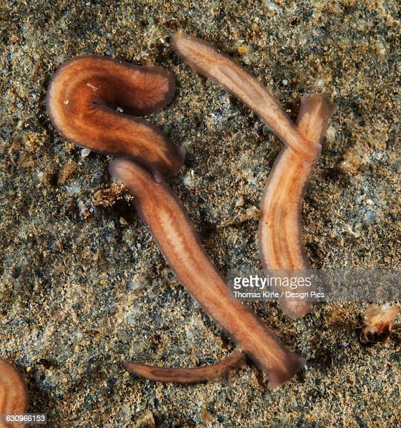 The planarian Polycelis coronata borealis is commonly found living on the underside of rocks in Alaska salmon streams