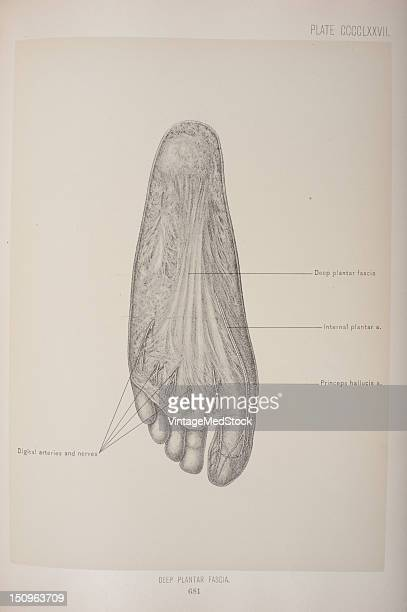 The plantar fascia is the thick connective tissue which supports the arch on the bottom of the foot 1903 From 'Surgical Anatomy The Treatise of the...