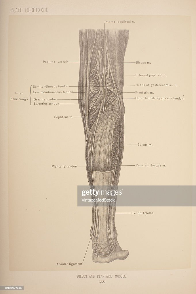 The plantaris is a very small muscle has the longest tendon of any muscle in the body and is representative of the palmaris longus of the forearm...