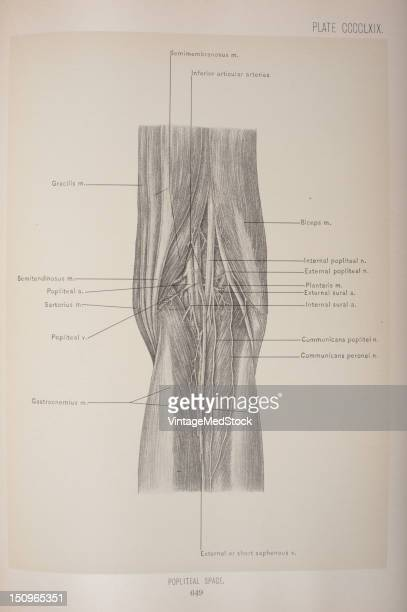 The popliteal space is the hollow behind the knee and is seen to the best advantage when the leg is but slightly flexed upon the thigh 1903 From...