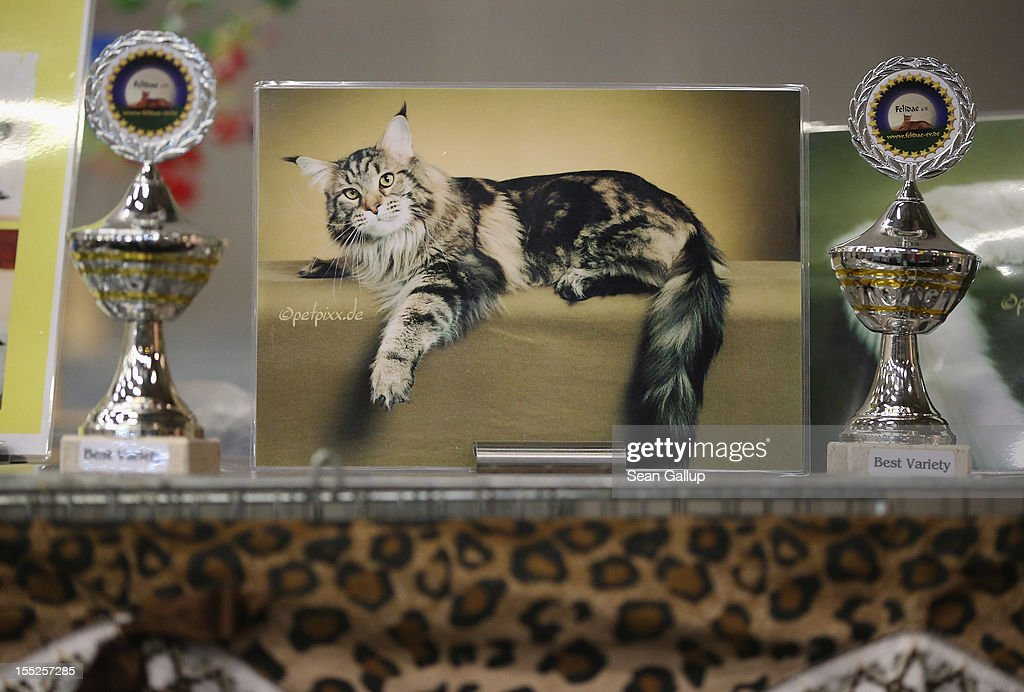 The portrait of a champion cat stands among trophies over its cage at a cat competition at the pet trade fair (Heimtiermesse) at Velodrom on November 2, 2012 in Berlin, Germany. Exhibitors are showing the latest trends in collars, snacks and other accessories for cats, dogs and other household pets.
