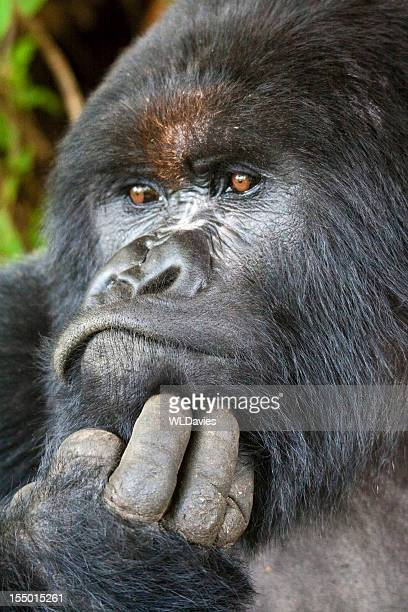 The portrait of a Silverback gorilla who has hand on chin