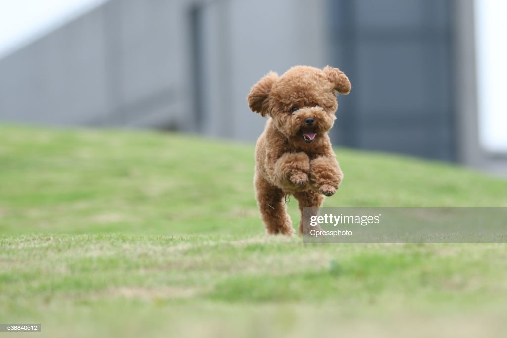 The portraits of teddy bear  dog in China