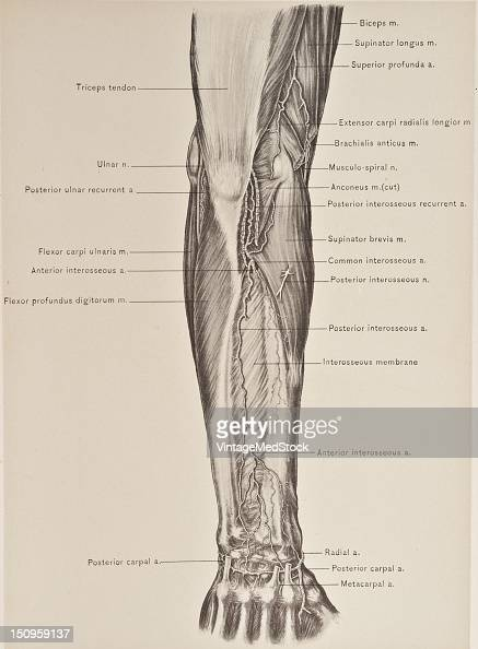 The posterior interosseous artery is the branch of the common interosseous which passes backward between the bones of the forearm and the upper...
