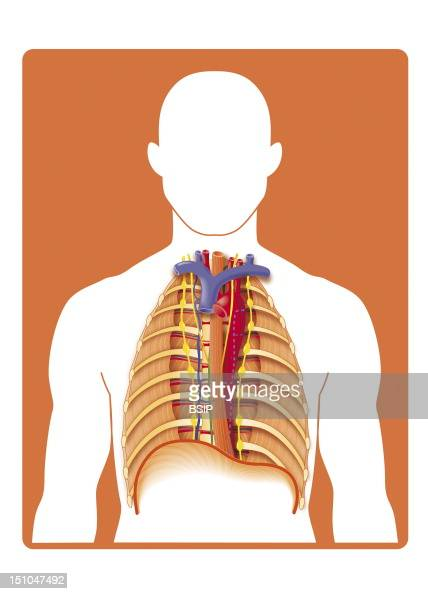 The Posterior Mediastinum Anterior View Ablation Of The Heart Lungs And Pleurae The Mediastinum Is The Anatomical Region Of The Thorax Located...