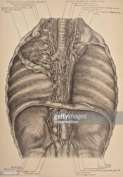 The posterior mediastinum is the space running parallel with the vertebral column bounded in front by the pericardium and the posterior surface of...