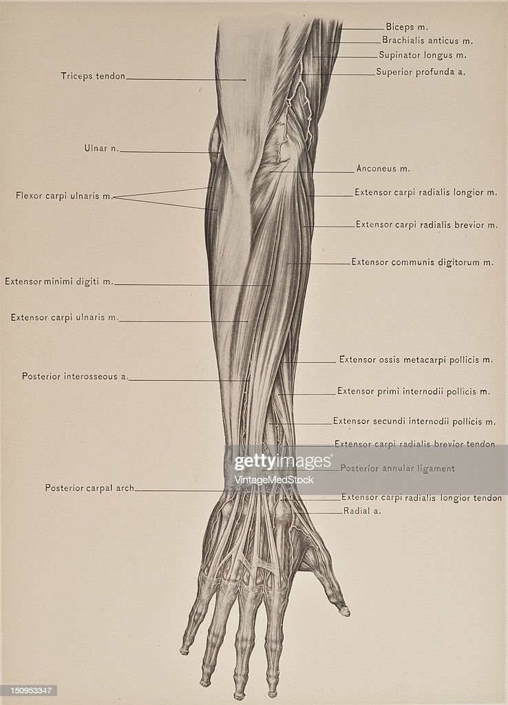 The posterior superficial muscles of the forearm includes the extensor carpi radialis longior 1899 From 'The Treatise of the Human Anatomy and Its...