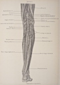 The posterior tibial artery of the lower limb carries blood to the posterior compartment of the leg and plantar surface of the foot from the...