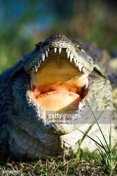The powerful teeth and jaws of a Nile Crocodile sun basking on an island in a river.