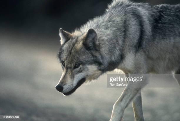The predator eyes of a Gray Wolf.