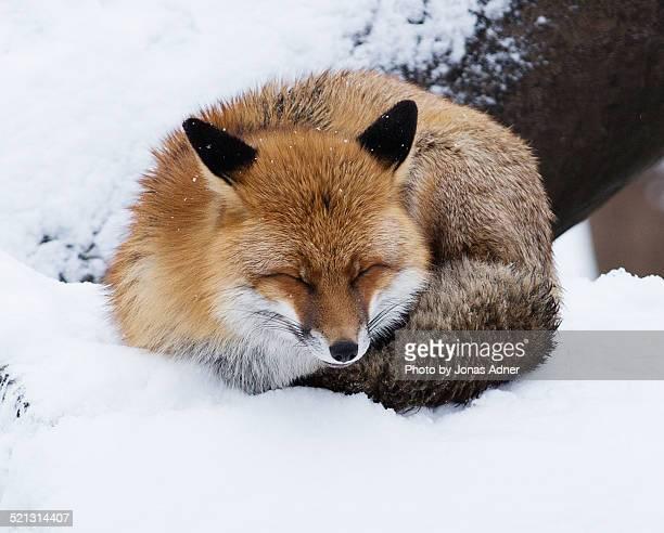The pretty fox