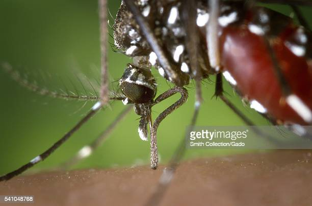 The proboscis of an Aedes albopictus mosquito feeding on human blood 2002 Under experimental conditions the Aedes albopictus mosquito also known as...