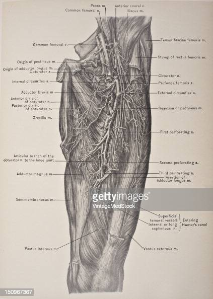 The profunda femoris branches off the femoral artery soon after its origin 1903 From 'Surgical Anatomy The Treatise of the Human Anatomy and Its...
