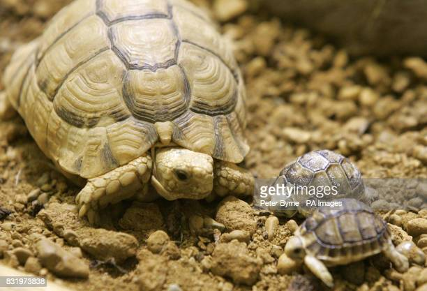 The proud father watches over two baby Egyptian Tortoises born today at Chester Zoo