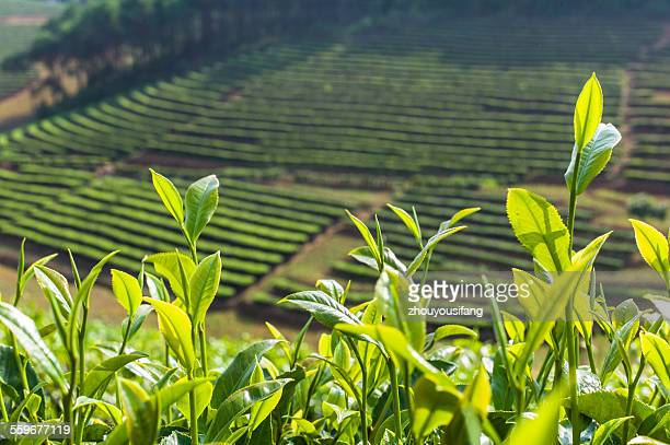 The Pu'er tea garden