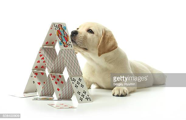 The puppy and the house of cards.