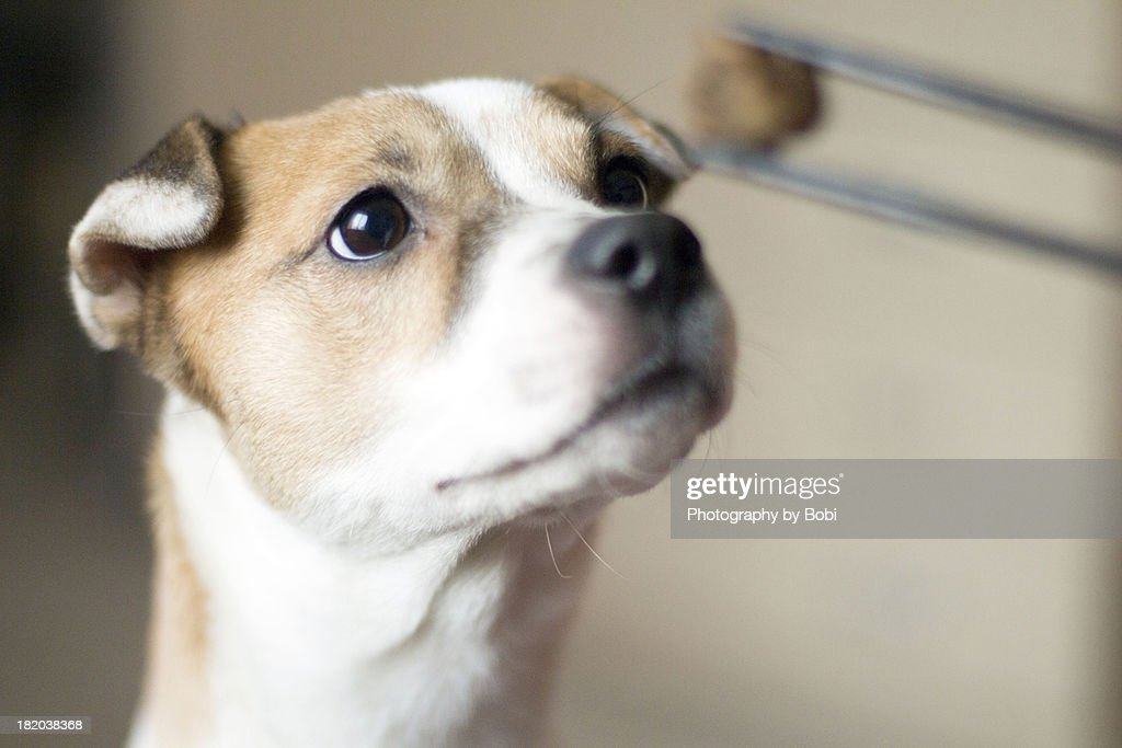 The puppy look forward watching food : Stock Photo
