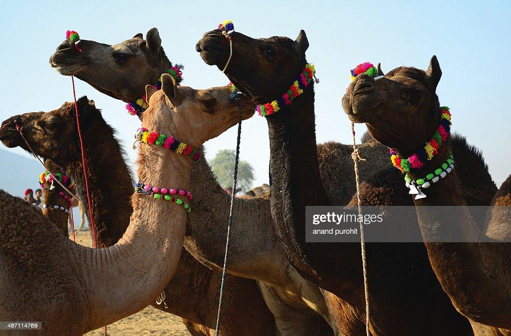 The pushkar cattle fair - Rajasthan
