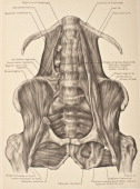 The quadrus lumborum muscle is a thin quadrilateral muscle 1903 From 'Surgical Anatomy The Treatise of the Human Anatomy and Its Applications to the...