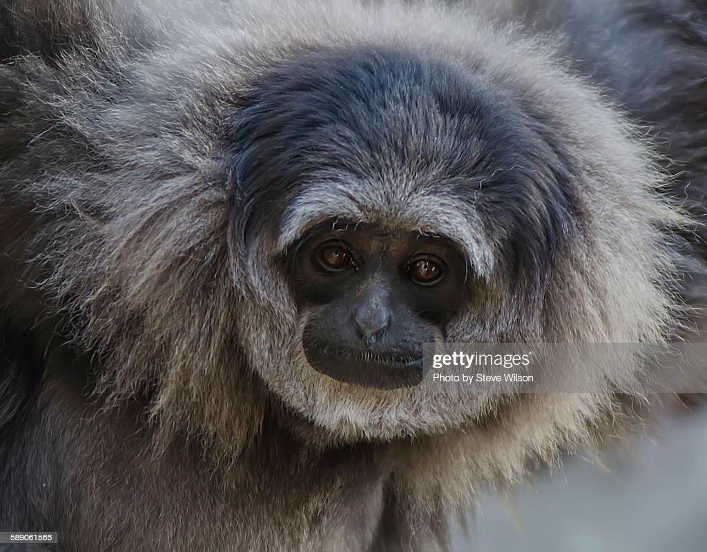 The Rare Silvery Gibbon in Close up