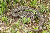 the rarest snake in Europe, meadow adder photographed in natural habitat in Transylvania ( Vipera ursinii rakosiensis )