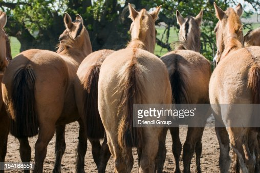 The rear-ends of a herd of horses : Stock Photo