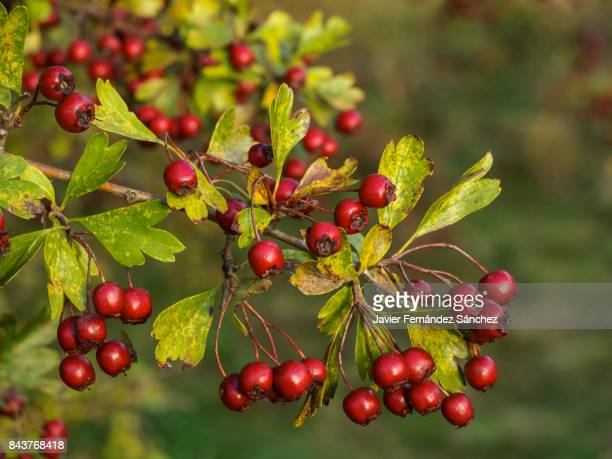 The red fruits of the hawthorn (Crataegus monogyna). Hawthorn berries.