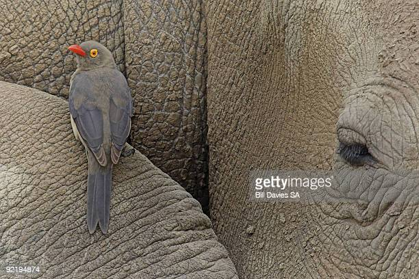 The Red-billed ox-pecker and a Rhino (Buphagus ery