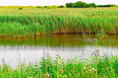 The reed bed of Minsmere, a nature reserve in the English county of Suffolk