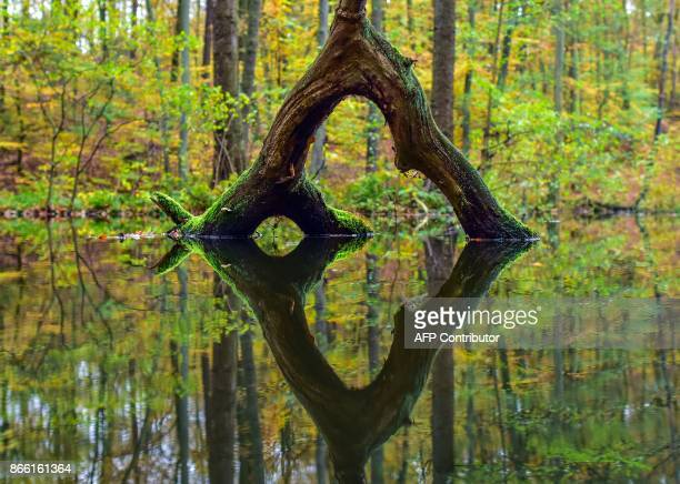 The reflection of a tree in the water is pictured in the Nature Park Schlaubetal near Siehdichum eastern Germany on October 25 2017 / AFP PHOTO / ZB...