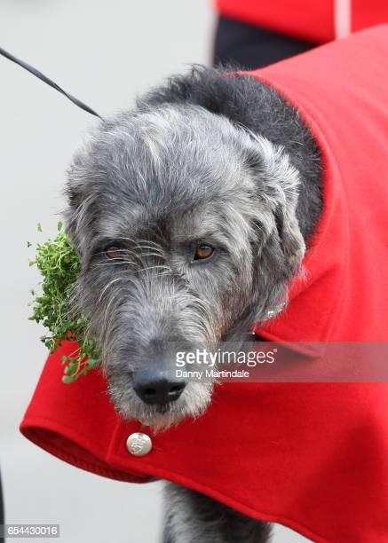 The Regimental mascot Irish Wolf Hound is seen with his shamrock presented by Catherine Duchess of Cambridge at the 1st Battalion Irish Guardsmen...