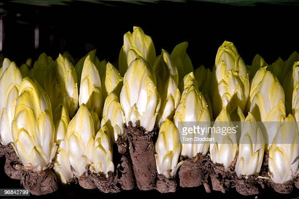 The region of Flanders in Belgium is world famous for the production and export of endives Picture shows production at Stefaan Gheerhaert's family...