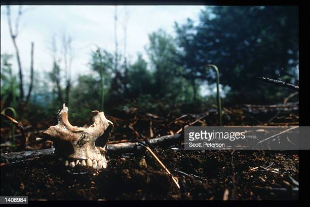 The remains of a skull lies on the ground near a mass gravesite where Serb forces slaughtered Muslim men May 14 1996 in Srebrenica Bosnia and...