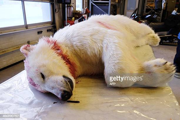 The remains of the polar bear which attached Jakub Moravec from Prague in the Czech Republic is pictured on Spitsbergen island part of the Svalbard...
