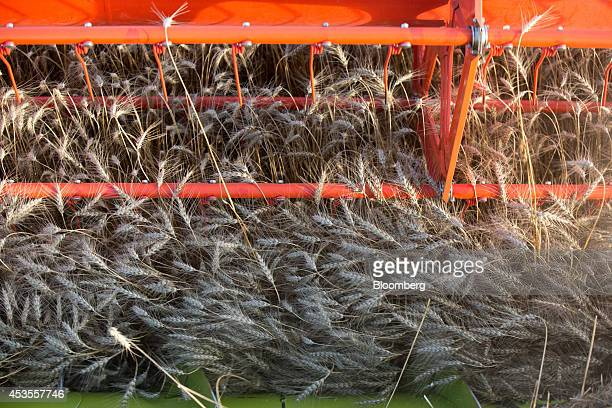 The revolving wheel of a Class KGaA combine harvester cuts wheat during the summer harvest at the OOO Barmino farm enterprise in Vargany near Nizhny...