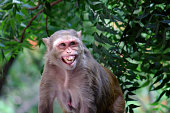 The rhesus macaque is one of the best-known species of Old World monkeys. It is listed as Least Concern in the IUCN Red List of Threatened Species in view of its wide distribution, presumed large