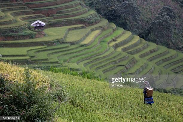 The rice terrace farm