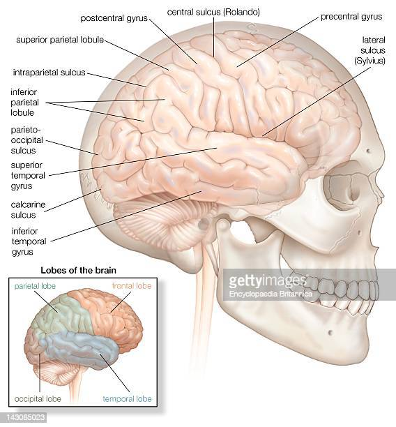 The Right Hemisphere Of The Human Brain Shown In Situ Within The Skull The Inset Highlights The Four Lobes Of The Brain