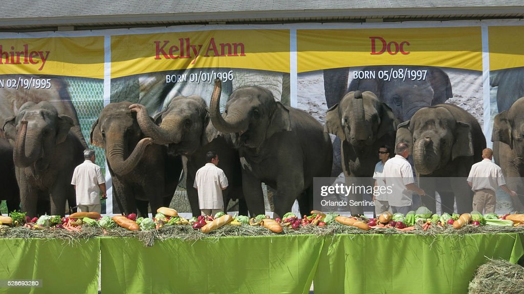 The Ringling Bros. and Barnum & Bailey Center for Elephant Conservation throws a retirement party for 11 of its performing Asian elephants on Friday, May 6, 2016, in Polk City, Fla. The feast featured carrots, lettuce, celery, apples and French bread while two dozen media outlets snapped pictures. The animals will be bred to preserve the endangered species.