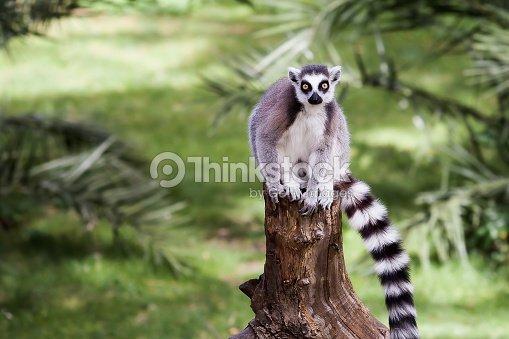 the ringtailed lemur ストックフォト thinkstock