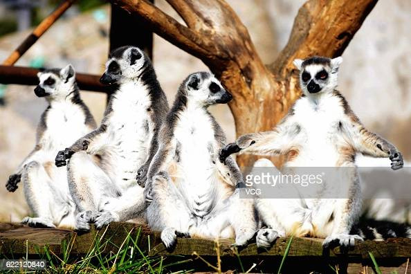 The ringtailed lemurs bask in the sun at Qingdao Forest Wildlife World On November 10 2016 in Qingdao Shandong Province of China Living in captivity...