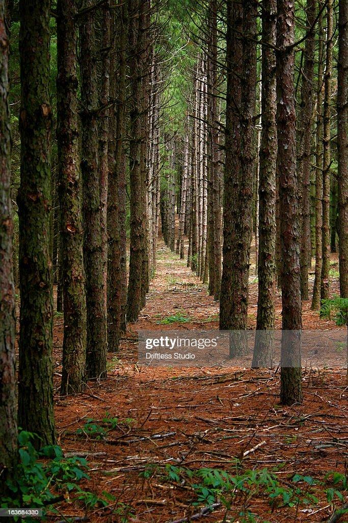 The Road Not Taken / Pine Plantation